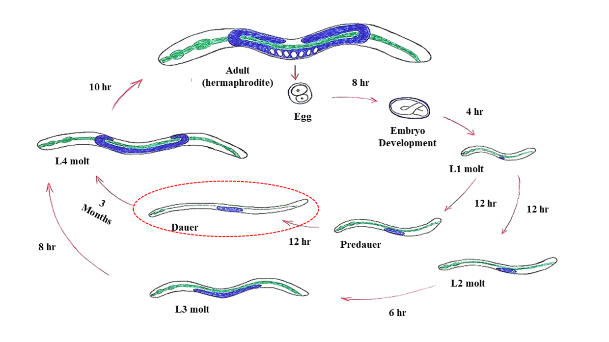 Figure 1. Life cycle of the model organism C. elegans (3 to 4 days) at 20 ° C. The larva dauer is circled in red. Source: https://pt.wikipedia.org/wiki/Caenorhabditis_elegans#/media/File:Ciclocelegans.jpg